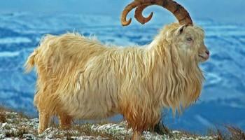 Золотая коза или почему кашемировый шарф такой теплый